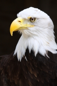 """Bald Eagle"" by Tina Phillips Freedigitalphotos.net"